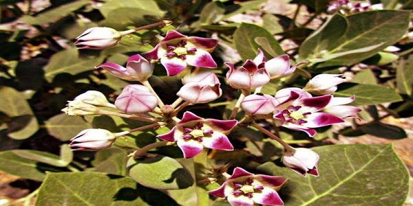 जिस घर में होता है ये पौधा, उसे छोड़कर नहीं जातीं देवी लक्ष्मी